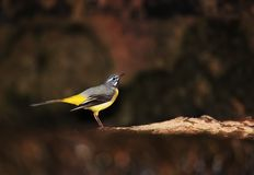 Free Male Of Grey Wagrail On Creek Stock Photography - 117629002