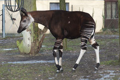 Male okapi, Okapia johnstoni Stock Photo