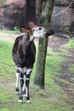 Male okapi. A male okapi stands near a tree Stock Images
