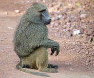Male Olive Baboon Royalty Free Stock Photo
