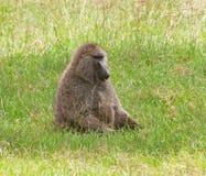 Male Olive Baboon i Amboseli, Kenya Royaltyfri Foto