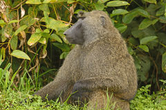 Male Olive Baboon in the Jungle Royalty Free Stock Images
