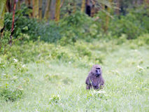 Male Olive Baboon (Papio anubis) is sits in the wet grass after rain Royalty Free Stock Photo