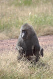 Male olive baboon (Papio Anubis) sitting Stock Photo