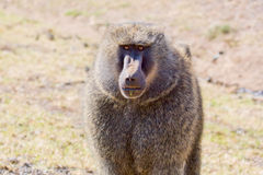 Male Olive Baboon Portrait. The orange / yellow staring eyes of this agressive male Olive, or Savanna, Baboon seem to stare right through you.  Its black face Stock Images