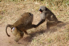 Male olive baboons (Papio Anubis) fighting stock photo