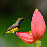 Male Olive-backed Sunbird Stock Images