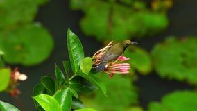 Male Olive-backed Sunbird feeding on nectar of a Pink Ixora flower.