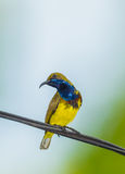 Male Olive-backed sunbird Royalty Free Stock Photography