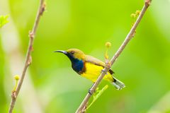 Male Olive-backed sunbird Stock Photos