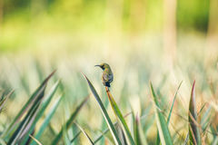 The male olive black sunbird. The little bird on the leaf of pineapple Royalty Free Stock Images