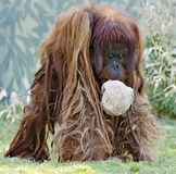 Male orang-outang with paper ball Royalty Free Stock Photography