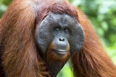 Male orang-utan. A dominant male orang-utan in his native habitat. Rainforest of Borneo royalty free stock photo