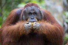 Male orang-utan. Eating a banana in his native habitat. Rainforest of Borneo stock image