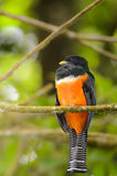 Male orange-bellied Trogon (Trogon aurantiiventris) Royalty Free Stock Photography