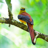 Male Orange-breasted Trogon Royalty Free Stock Photography