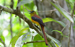 Male Orange-breasted Trogon (Harpactes oreskios) Stock Image