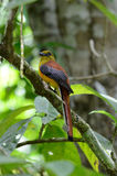 Male Orange-breasted Trogon (Harpactes oreskios) Royalty Free Stock Images
