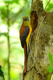 Male Orange-breasted Trogon (Harpactes oreskios) Royalty Free Stock Photography
