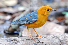 Male orange headed thrush Royalty Free Stock Images