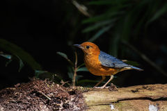 Male orange headed thrush Royalty Free Stock Photo