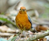 Male Orange-headed Thrush (Zoothera citrina) Stock Photo