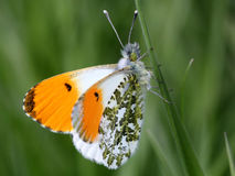 male orange spets för fjäril Royaltyfri Fotografi
