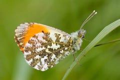male orange spets för fjäril Arkivbild
