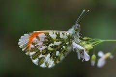 Male Orange - spetsfjäril Fotografering för Bildbyråer