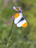 Male Orange Tip Butterfly Stock Photos