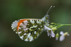 Male Orange -Tip Butterfly. Male orange tip butterfly resting on a white flower. Anthocharis cardamines Stock Image