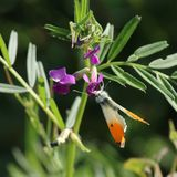 Male Orange Tip Butterfly (Anthocharis cardamines). This picture shows a male orange-tip butterfly settled on a purple flower with green leaves. The wings are Royalty Free Stock Photo