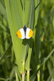 Male orange tip butterfly Stock Photography