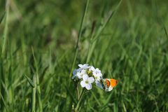 Male Orange Tip Butterfly (Anthocharis cardamines). A male orange tip butterfly resting on a white flower with a backdrop of green grass. The butterfly has his Royalty Free Stock Photography