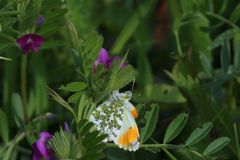 Male Orange Tip Butterfly (Anthocharis cardamines). A male orange tip butterfly settled on a purple flower with green leaves. The wings are partially closed Royalty Free Stock Photos