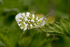 Male Orange Tip Butterfly, Anthocharis cardamines. Sitting on tip of leaf with wings closed Stock Image