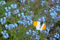 Male orange tip butterfly Anthocharis cardamines. On wood forget-me-not Myosotis sylvatica Royalty Free Stock Photo