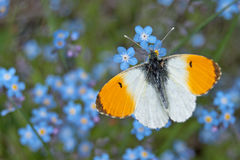 Male orange tip butterfly Anthocharis cardamines. On wood forget-me-not Myosotis sylvatica Stock Image