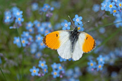 Male orange tip butterfly Anthocharis cardamines. On wood forget-me-not Myosotis sylvatica Stock Photography