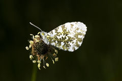 Male Orange Tip butterfly on Ribwort Plantain Stock Photo