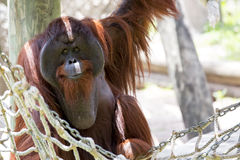 Free Male Orangutan. Royalty Free Stock Image - 46656546