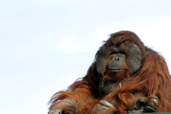 Male orangutan. Large male orangutan with expression, zoo animal Stock Photography
