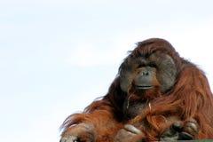 Male orangutan Stock Photography