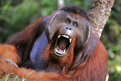 The male of the orangutan grimaces and yawns. Stock Photo