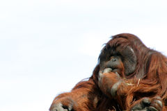 Male orangutan with hand to mouth. Large male orangutan with expression, zoo animal Royalty Free Stock Images