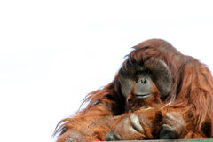Male orangutan isolated on white. Large male orangutan with expression, zoo animal Royalty Free Stock Photos