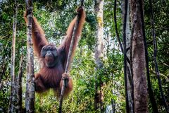 A male orangutan lounges in a tree stock photography
