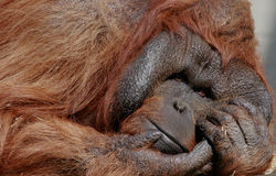 Male Orangutan Stock Photo