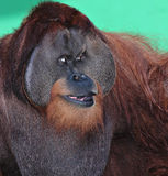 Male Orangutan Royalty Free Stock Photography