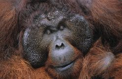 Male Orangutan resting close-up Royalty Free Stock Image